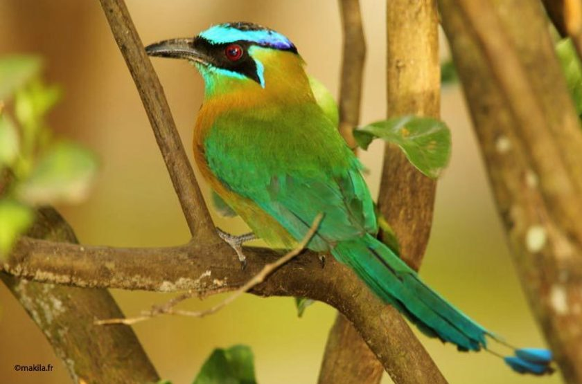 Crowned Blue, Madagascar