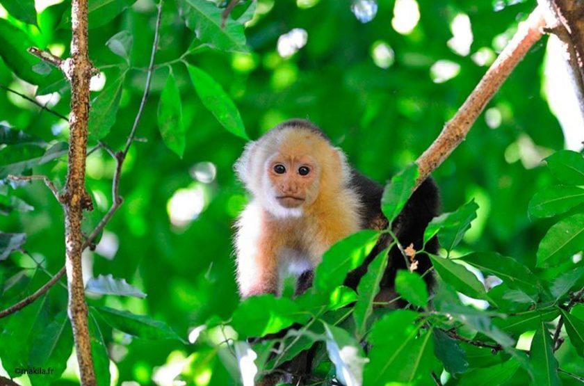 Singe capucin, Costa Rica