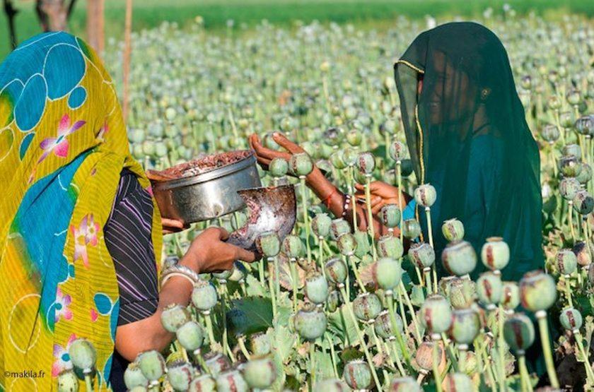 Récolte d'opium, Inde du Sud