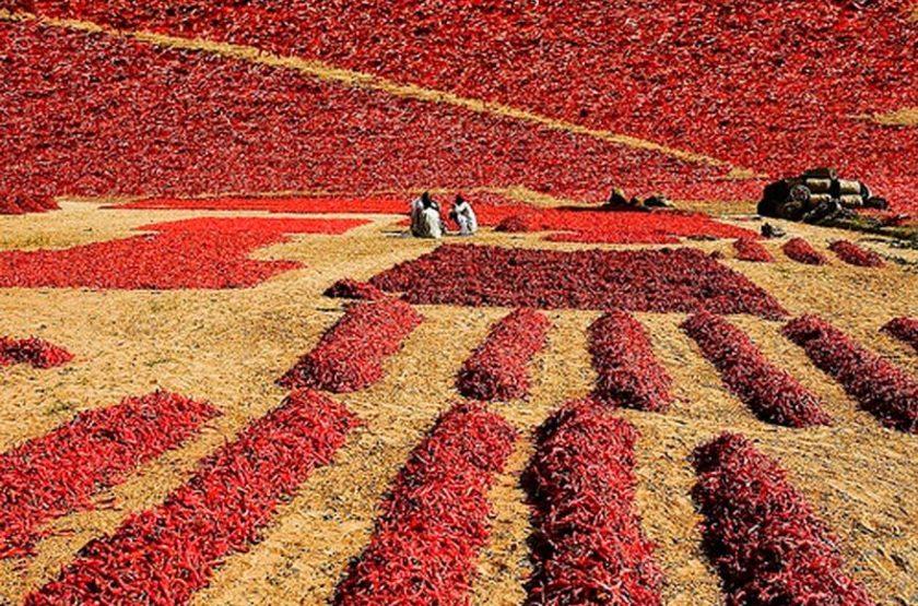 Culture de piments en Inde Rajasthan