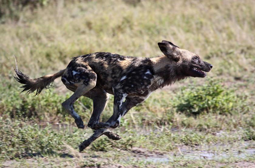 Wild Dog dans la Linyanti, Botswana