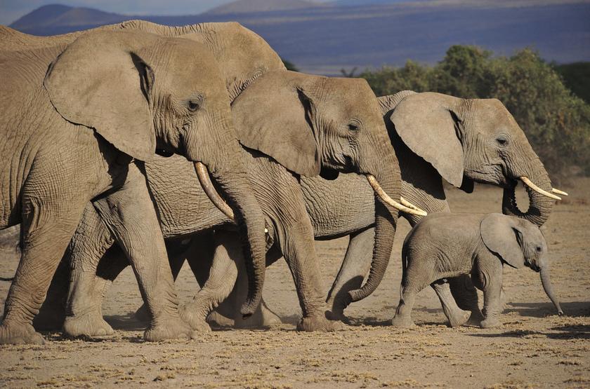 Famille d'éléphants, Serengeti