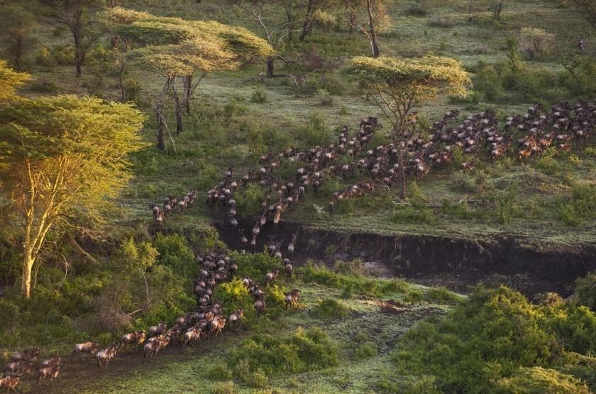 Migration des Gnous, Serengeti, Tanzanie