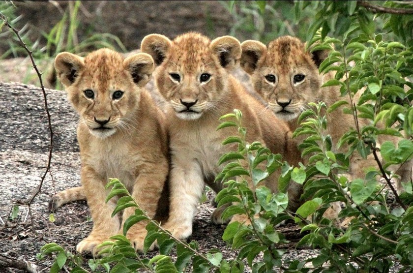 Jeunes lionceaux, Tanzanie