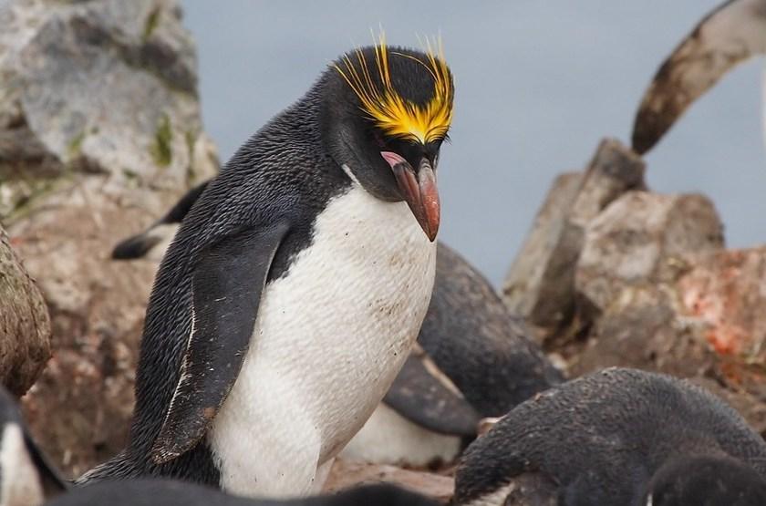 Pinguoin Empereur, Antarctique