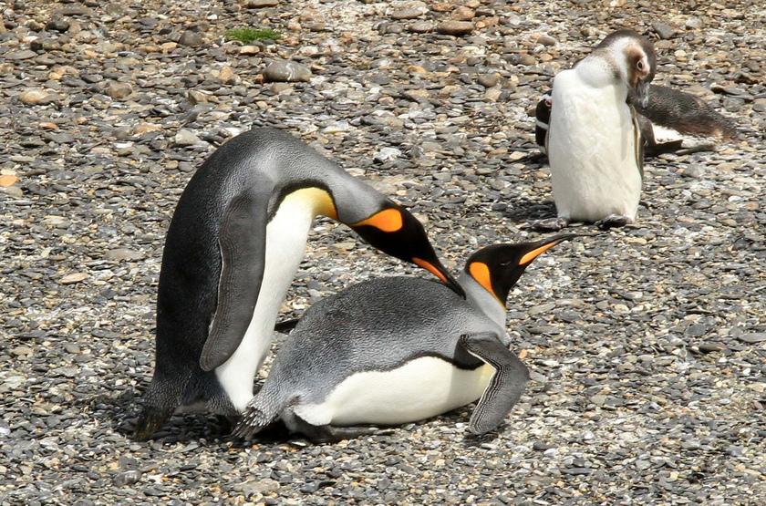 Pinguoins à bec jaune, Argentine