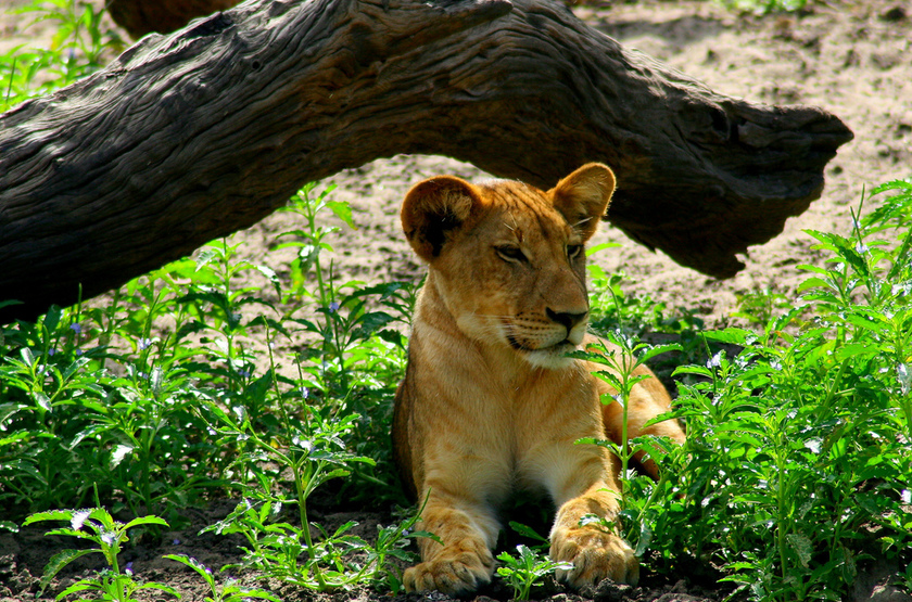 Lionceau 2 slideshow