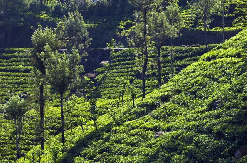 Plantation de thé Nuwera Eliya, Sri Lanka