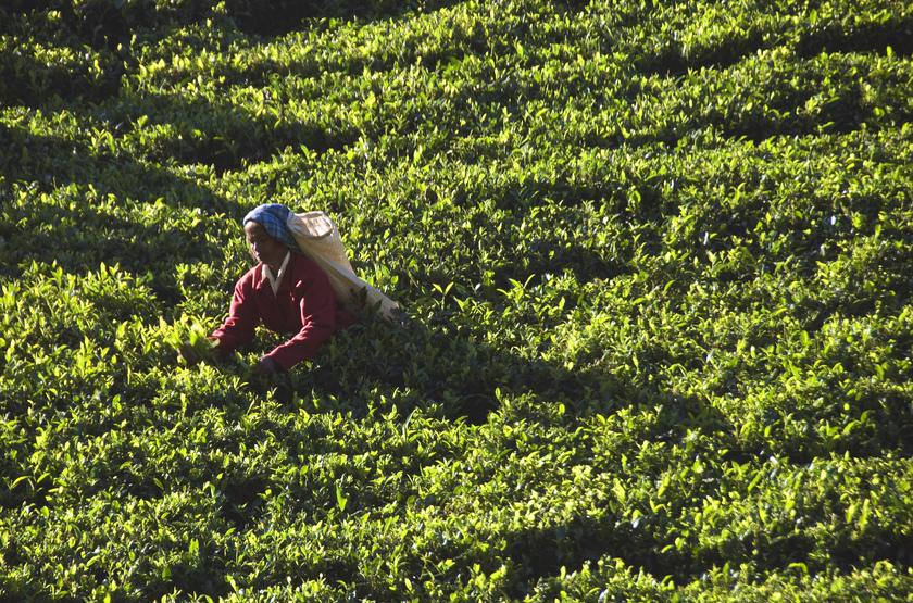 Cueilleuse de thé, Sri Lanka