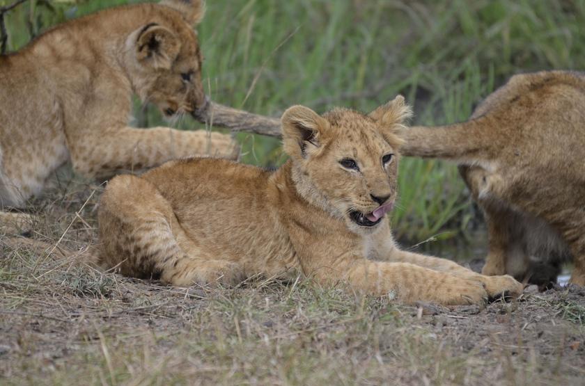 Famille de lions dans le Masai Mara, Kenya