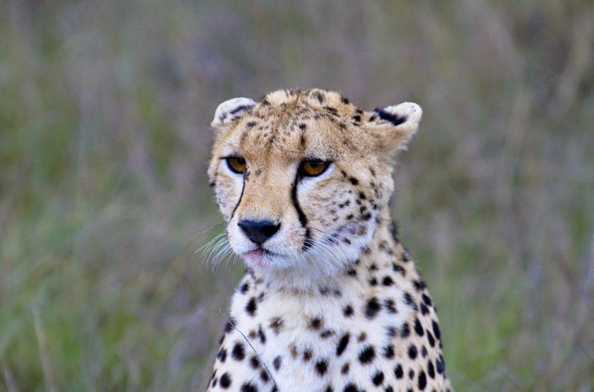 Guépard dans le Masai Mara