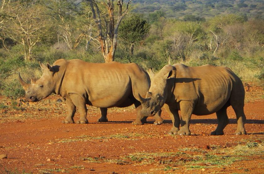 Safari en réserve privée Sabi Sabi, Afrique du Sud