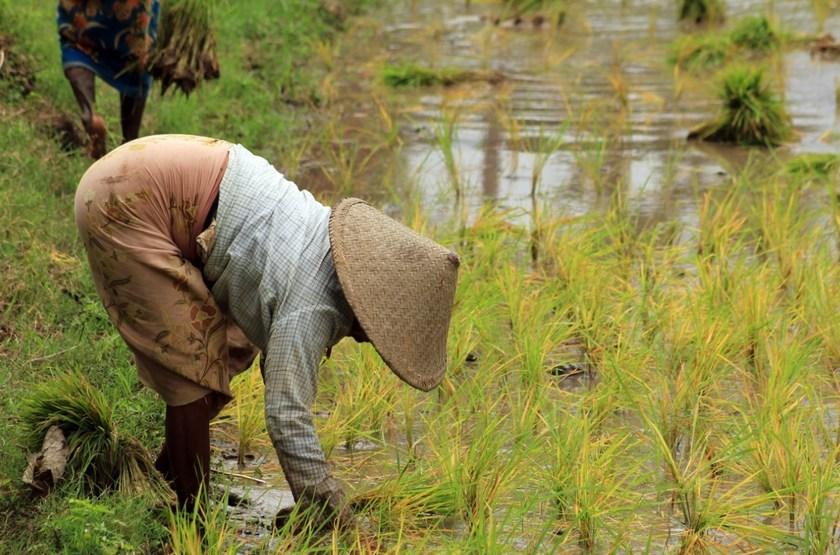 Récolte du riz, Birmanie