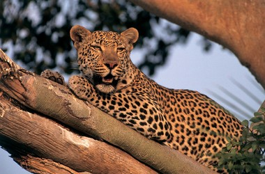 Safari au parc national de South Luangwa, voyage Afrique