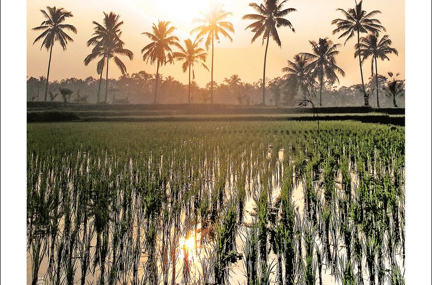 Rizières, Indonésie