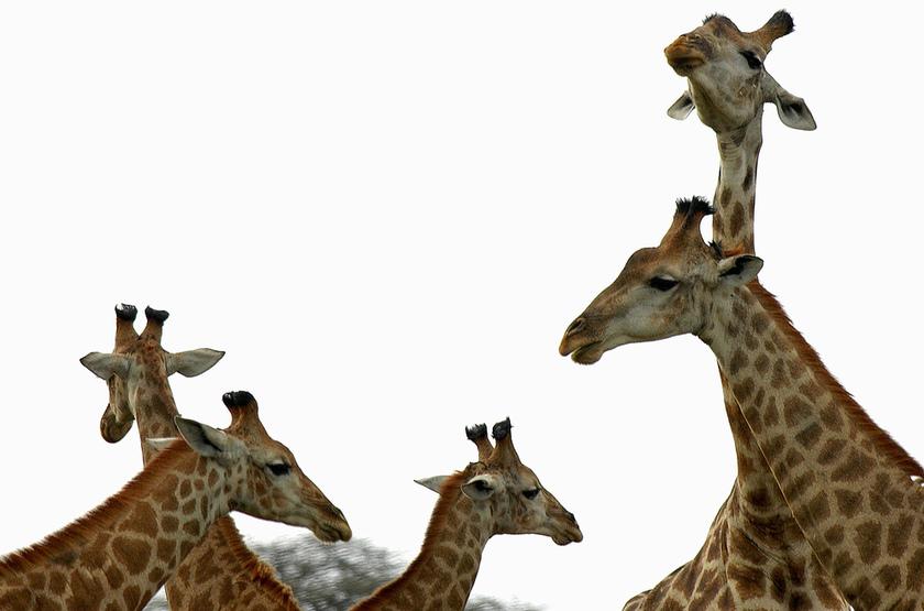Girafes hluhluwe slideshow