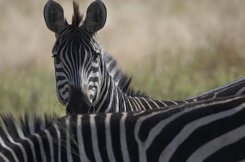 Narimi, Serengeti, Tanzanie