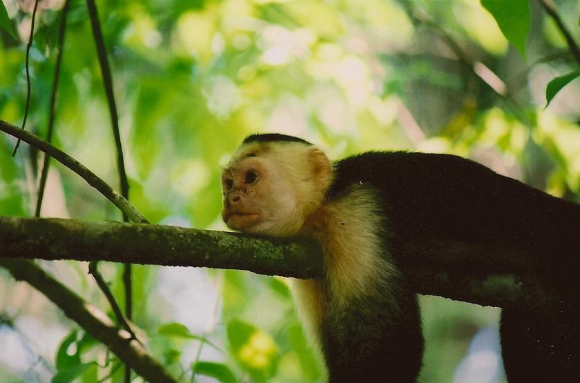 Lémurien noir, Madacascar