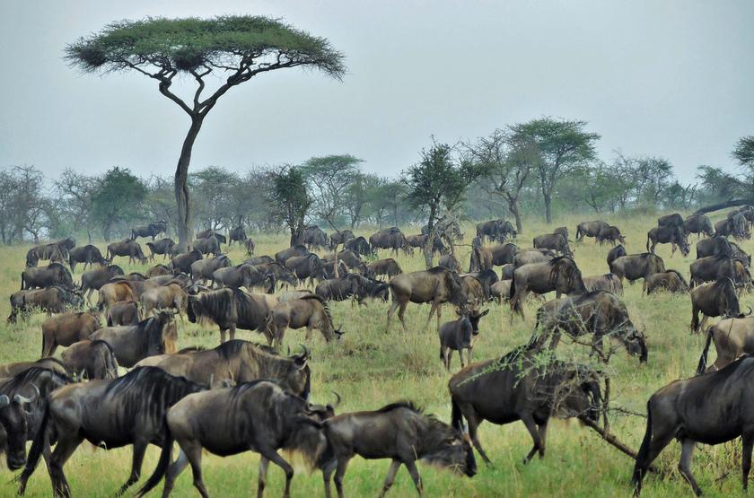 Migration dans le Serengati, Tanzanie