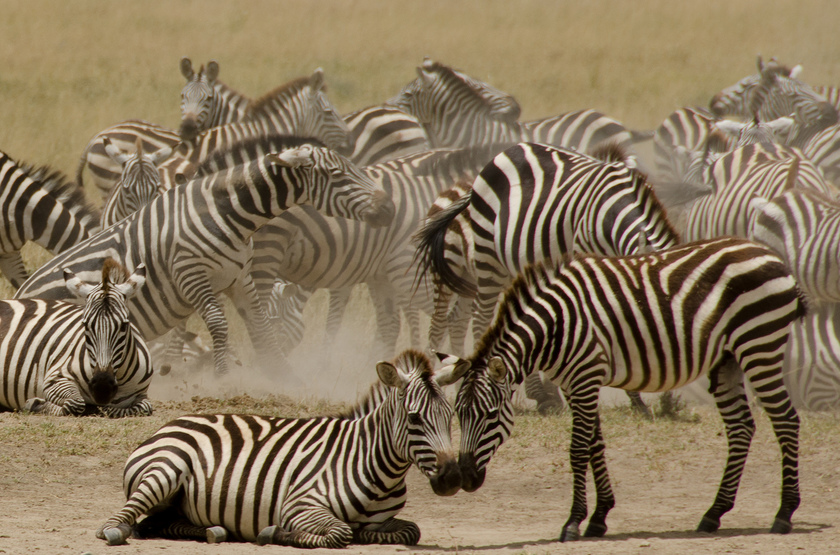 Dans le Serengeti, Tanzanie
