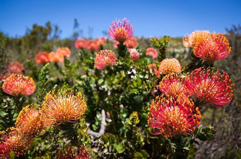 Cape Town, Afrique du Sud, jardins de Kirstenboch
