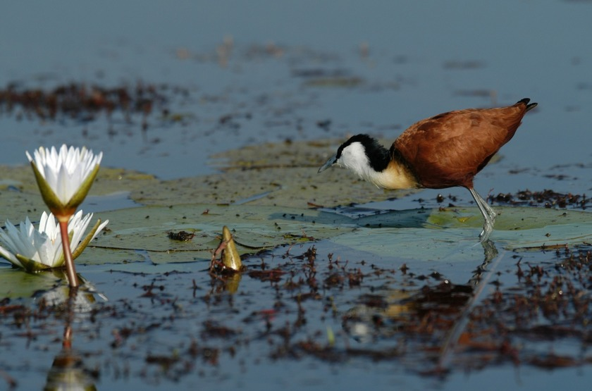 Jacana, Xigera Camp Wilderness, Botswana