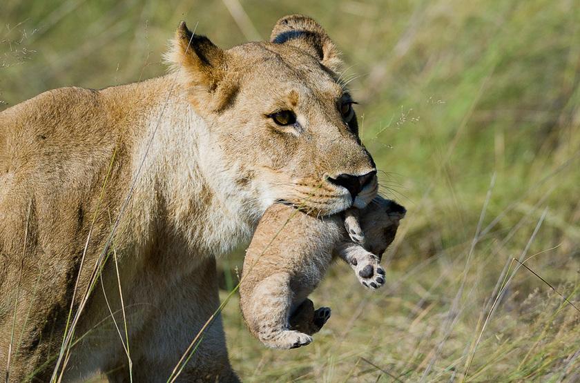 Lionne et son petit, Reserve de la Linyanti, Botswana