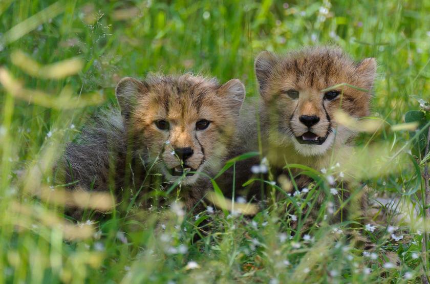 Bébés léopards, Okavango, Botswana