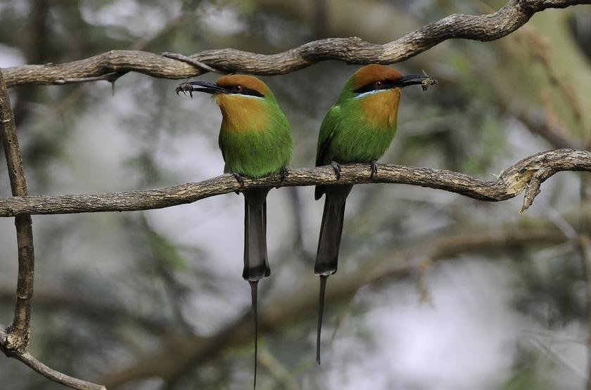 Guépiers dans le parc de Liwonde, Malawi