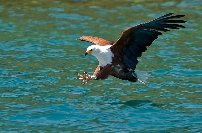 Aigle pêcheur sur le lac Malawi