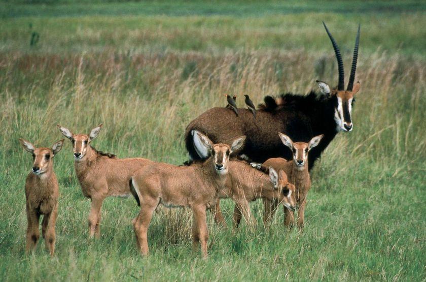Safari dans le parc de Liwonde, Malawi