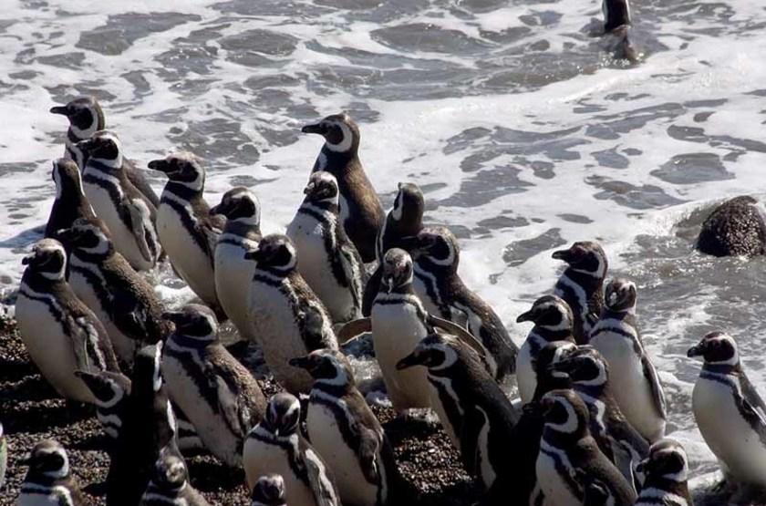 Manchots Magellan, Péninsule Valdes, Patagonie