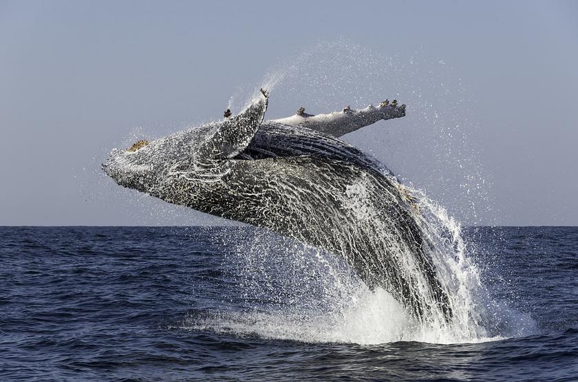 Baleine au Mozambique
