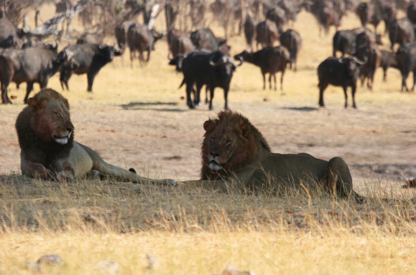 Safari dans le parc Hwange, Zimbabwe