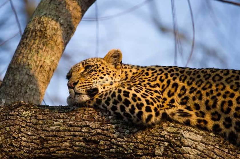 Léopard, réserve Sabi Sabi, Afrique du Sud
