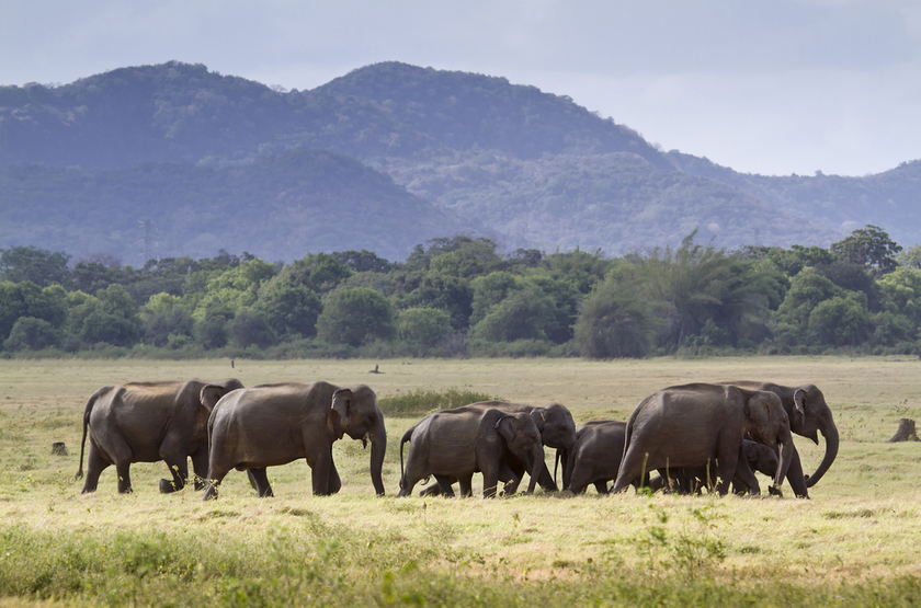 Parc de Minneriya, Sri Lanka