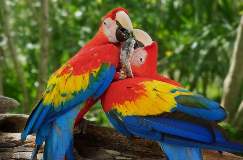 Perroquets Macaws, Cozumel, Mexique