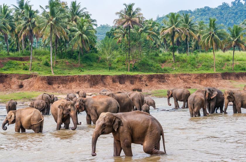 Orphelinat des éléphants à Pinnawella, Sri Lanka