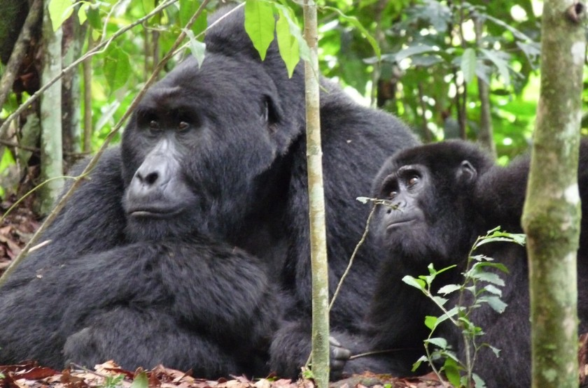 Gorilles des montagnes, Ouganda