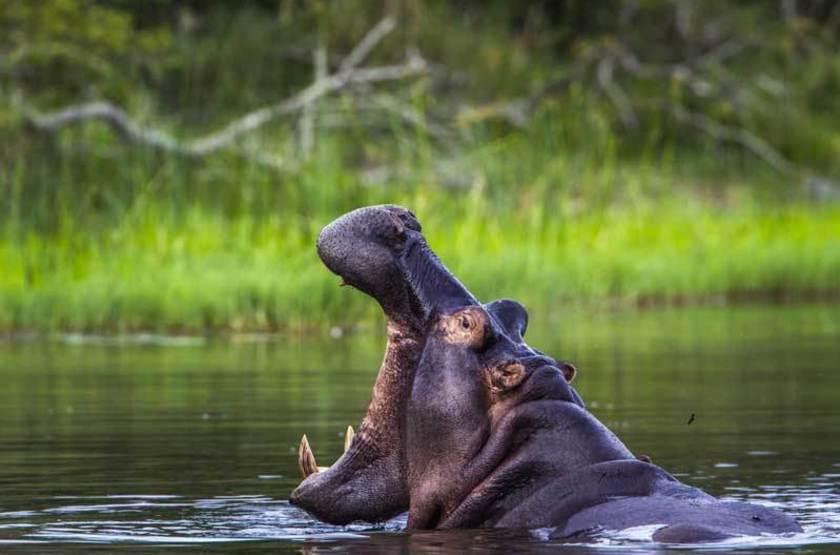 Hippopotame, Parc Kruger, Afrique du Sud