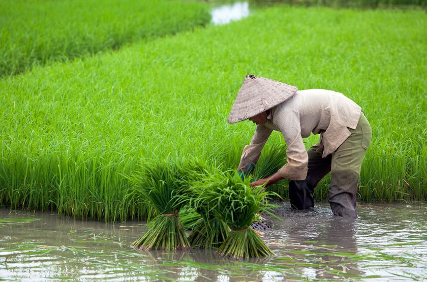 cueillette du riz, Vietnam
