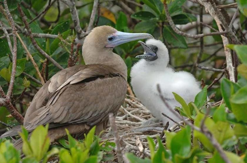 Sula avec son petit, Îles Galapagos