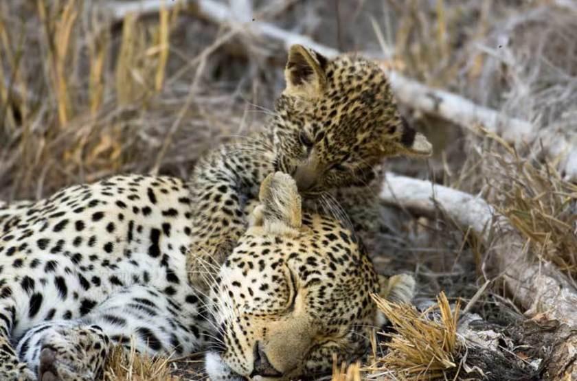 Léopards, réserve de Sabi Sand, Afrique du Sud