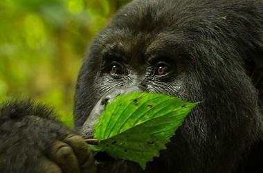 Safari gorilles au Rwanda, voyage Afrique