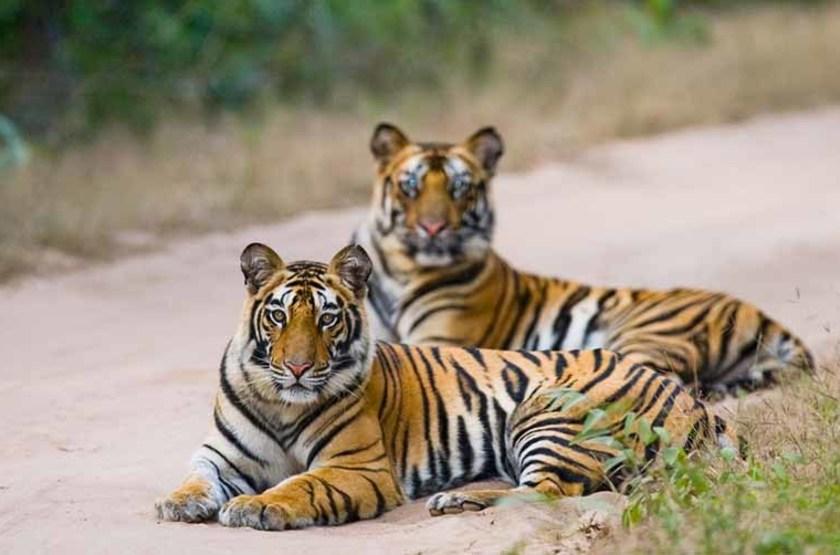 Deux tigres du Bengale, Parc National Bandhavgarh, Inde