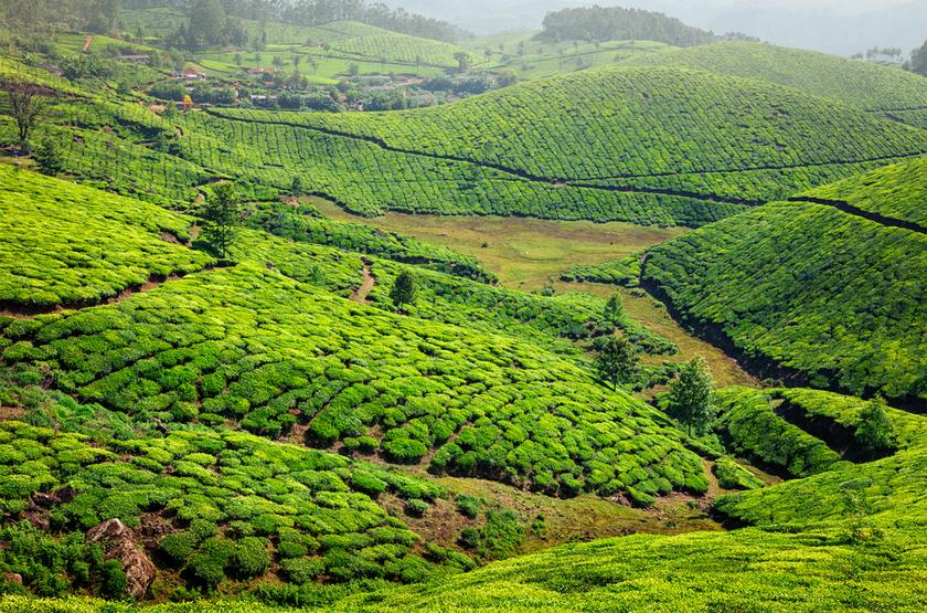 Plantation de Thé, Kerala, Inde