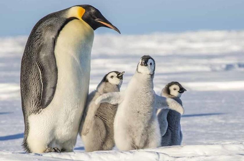 Manchot empereur et ses petits