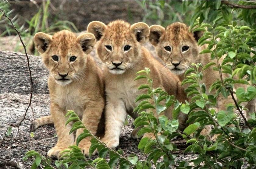 Lionceaux slideshow