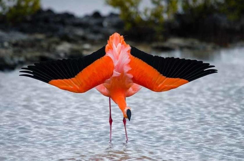Flamant des Caraïbes, Îles Galapagos