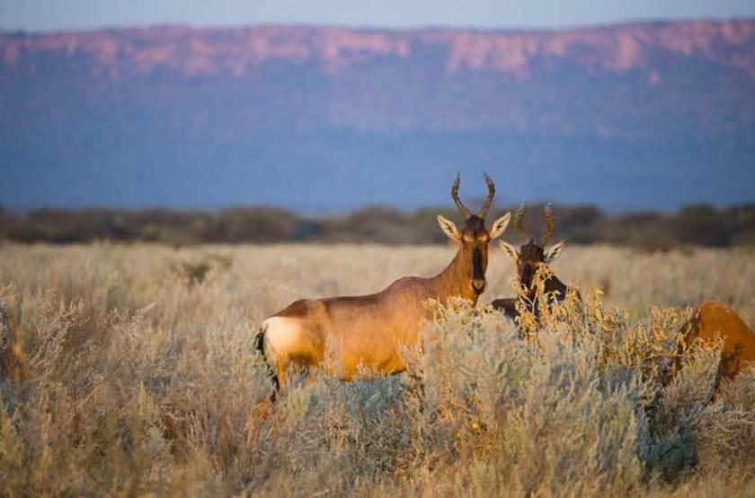 Alcelaphus caama, Plateau du Waterberg, Namibie